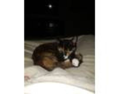 Adopt Little Kitty a Calico or Dilute Calico American Shorthair / Mixed cat in