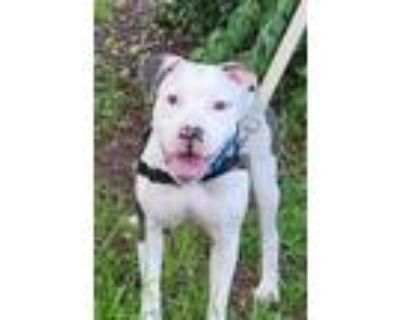 Adopt Icy a White American Pit Bull Terrier / Mixed dog in Washington