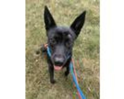 Adopt Paige a Black Shepherd (Unknown Type) / Mixed dog in West Allis