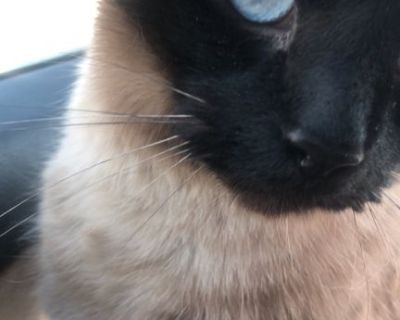 Siamese Cat for Rehoming