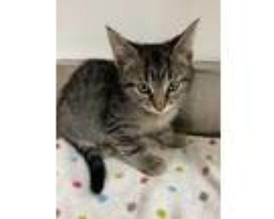 Adopt 655002 a Tan or Fawn Domestic Shorthair / Domestic Shorthair / Mixed cat