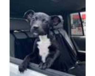 Adopt Marcy a Labrador Retriever, Miniature Pinscher