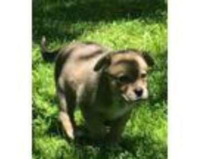 Adopt Dax a Siberian Husky / Shepherd (Unknown Type) / Mixed dog in Matawan