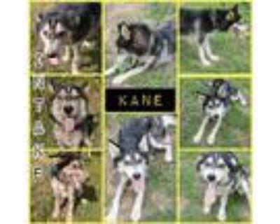 Adopt Kane a White - with Black Husky / Mixed dog in Blacksburg, SC (32053032)