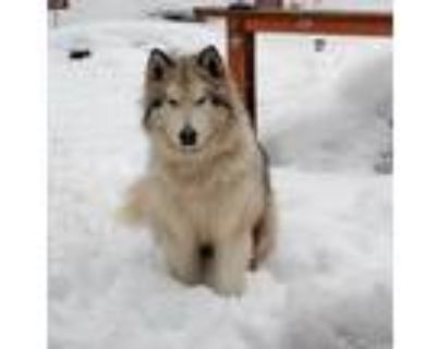 Adopt Ryder a Gray/Silver/Salt & Pepper - with White Alaskan Malamute / Mixed
