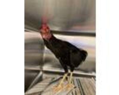 Adopt Pablo a Chicken bird in Houston, TX (31885761)