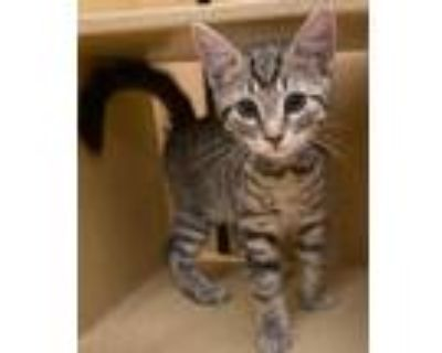 Adopt Country Kittens - Banjo, Diesel, Dixie a Domestic Short Hair