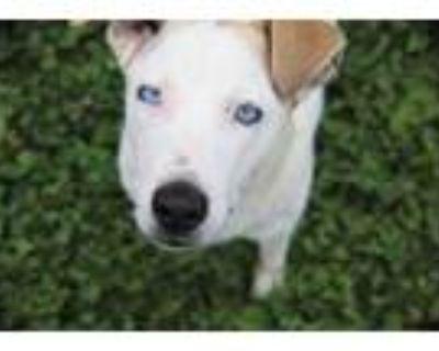 Adopt Kite a White Australian Shepherd / Mixed dog in Xenia, OH (31683918)
