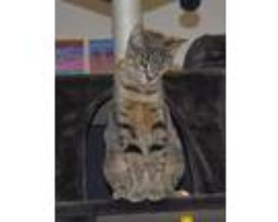 Adopt EEVEE a Domestic Shorthair / Mixed cat in Kennesaw, GA (30997639)