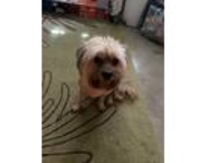 Adopt Max a Tan/Yellow/Fawn Havanese / Poodle (Standard) / Mixed dog in Tucson