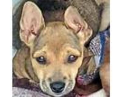 Adopt Ocean a Brown/Chocolate Hound (Unknown Type) / Beagle / Mixed dog in Long