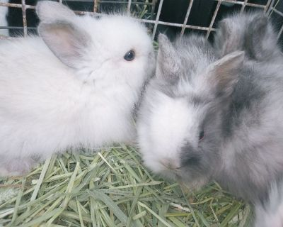 Lionhead Dwarfs Rabbits Bunnies Lionhead Dwarf Bunny Rabbit