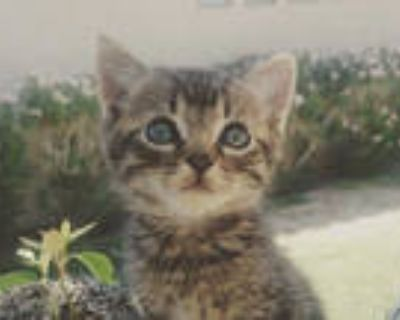 Adopt MICHAEL a Brown Tabby Domestic Shorthair / Mixed (short coat) cat in