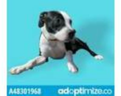 Adopt 48301968 a White American Pit Bull Terrier / Mixed dog in El Paso