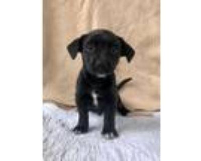 Adopt Buddha a Rat Terrier, Labrador Retriever