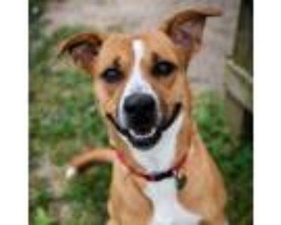 Adopt 21-037 Bruno a Tan/Yellow/Fawn Hound (Unknown Type) dog in Hampton
