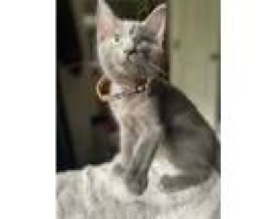 Adopt Captain a Gray or Blue Domestic Shorthair / Domestic Shorthair / Mixed cat