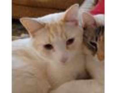 Adopt Jack (bonded with Jill) a Siamese