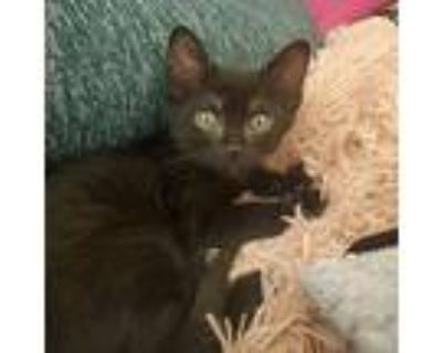 Summer, Domestic Shorthair For Adoption In Los Angeles, California