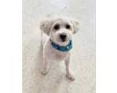 Adopt Taquito a White Poodle (Miniature) / Mixed dog in Binghamton