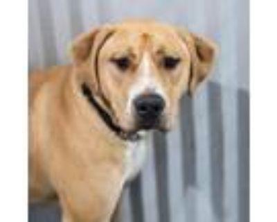 Adopt Jax / Clancey - young mastiff mix a Bullmastiff, Yellow Labrador Retriever
