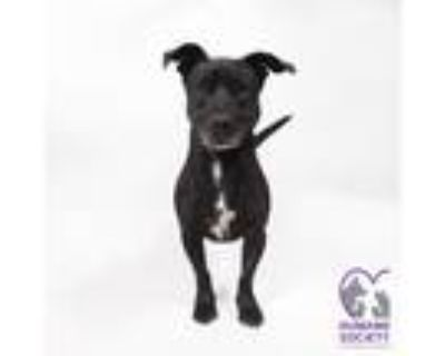 Adopt RILEY a Black - with White Pit Bull Terrier / Mixed dog in Tucson