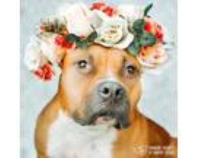 Adopt Rose a American Staffordshire Terrier, Mixed Breed