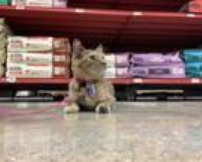 Adopt Wednesday a Domestic Short Hair