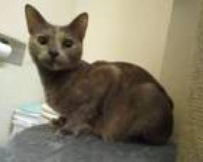 Adopt Velcro a Domestic Short Hair, Dilute Tortoiseshell