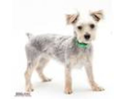 Adopt Bentley a Yorkshire Terrier, Mixed Breed