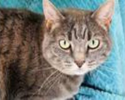 Adopt Ivory a Gray or Blue Domestic Mediumhair / Domestic Shorthair / Mixed cat