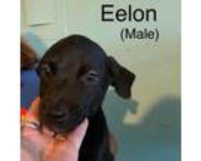 Adopt Eelon a Black Great Dane / Mixed dog in El Dorado, KS (31880553)