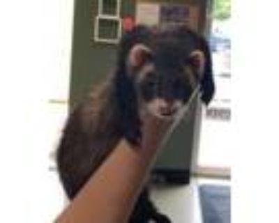 Adopt Margo a Sable Ferret small animal in Merriam, KS (32017229)
