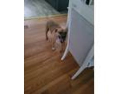 Adopt Pinky lee a Tan/Yellow/Fawn - with White American Pit Bull Terrier /