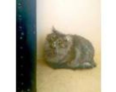 Adopt Ivy a Gray or Blue Domestic Mediumhair / Domestic Shorthair / Mixed cat in