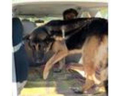 Adopt Buddy Shep a Shepherd (Unknown Type) / Labrador Retriever / Mixed dog in