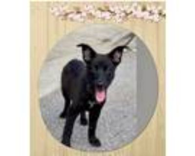 Adopt Lady a Black Shepherd (Unknown Type) / Mixed dog in Manhasset