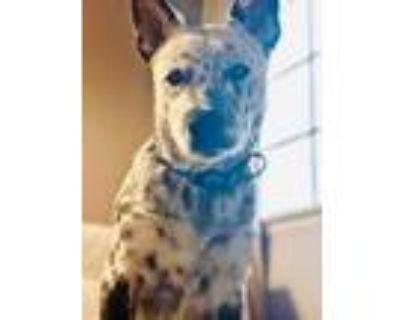 Adopt Stark a Australian Cattle Dog / Blue Heeler
