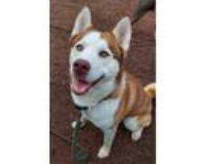 Adopt Houdini a Red/Golden/Orange/Chestnut Husky / Mixed dog in Anderson