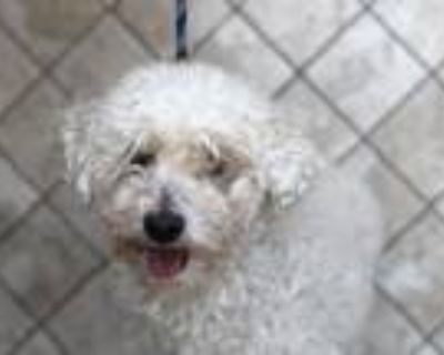 Adopt GASTON a Poodle, Mixed Breed