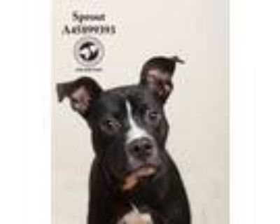 Adopt 063021 Sprout a Black Boxer / Mixed dog in Baton Rouge, LA (31544167)