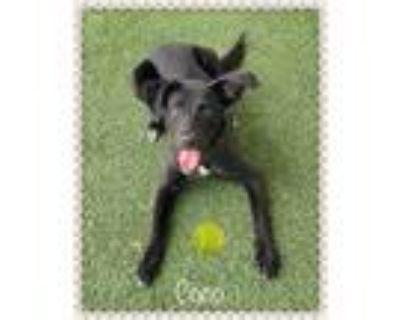 Adopt COCO a Black - with White Labrador Retriever / Mixed dog in Marietta
