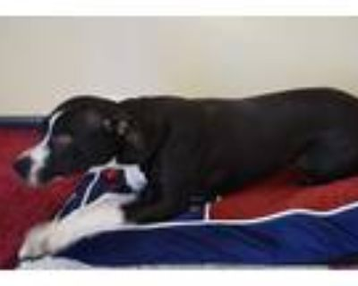 Adopt Jenny a Black - with White Pit Bull Terrier / Mixed dog in Rosalia