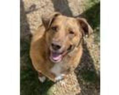 Adopt CHOCO a Brown/Chocolate Australian Cattle Dog / Mixed dog in Newport News