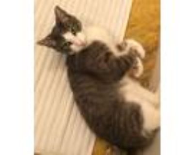 Adopt BISCUIT a Tan or Fawn Tabby Domestic Shorthair (short coat) cat in Alamo