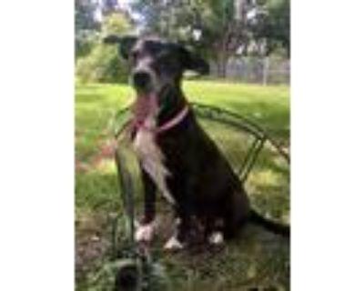 Adopt Barb a Black - with White Labrador Retriever / Mixed dog in Denver