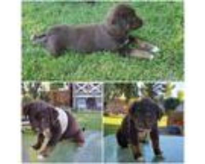 Adopt Bear a Brown/Chocolate - with White Border Collie / Mixed dog in Idaho