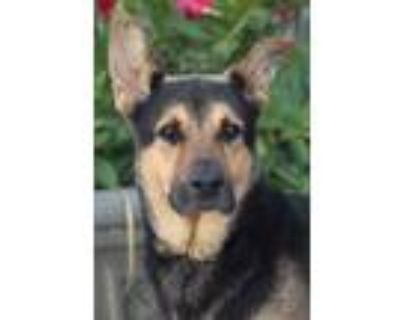 Adopt Ollie von Patzig a Black - with Tan, Yellow or Fawn German Shepherd Dog /