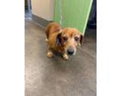 Adopt Rosie a Dachshund / Mixed dog in Norman, OK (31156347)