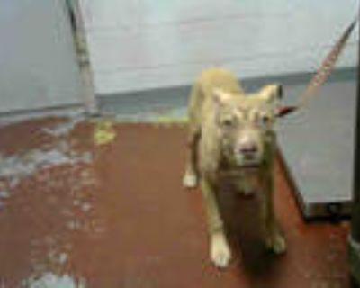 Adopt ELENA a Tan/Yellow/Fawn Labrador Retriever / Mixed dog in Atlanta